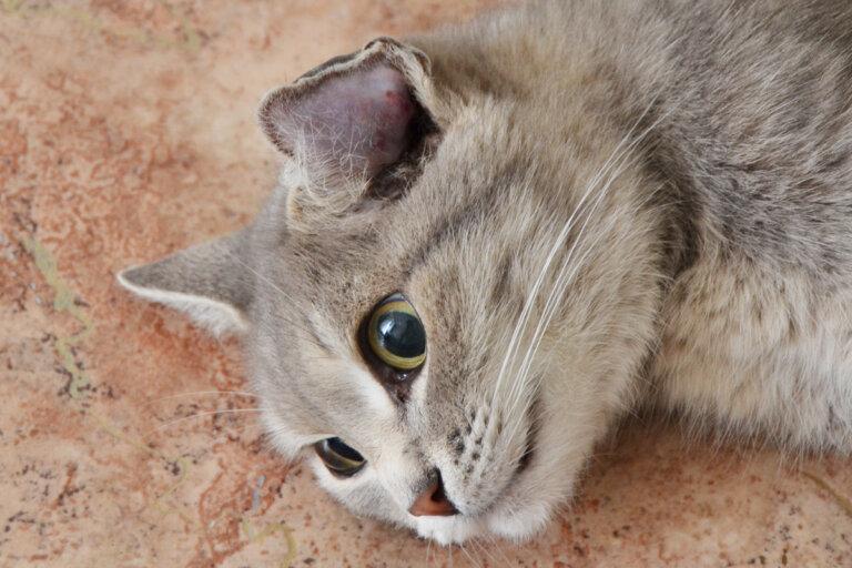 Отогематома у кота