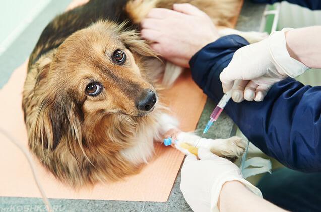 Анализ крови у собаки
