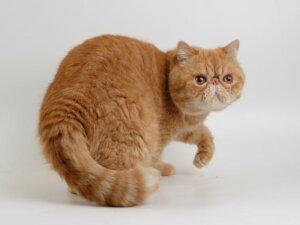 Кошки экзоты брахицефалы