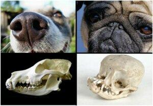 Сравнение брахицефала и обычной собаки