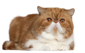 Британские кошки брахицефалы