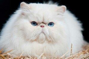 Персидские кошки брахицефалы