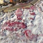 Розовый снег: отравление собак изониазидом