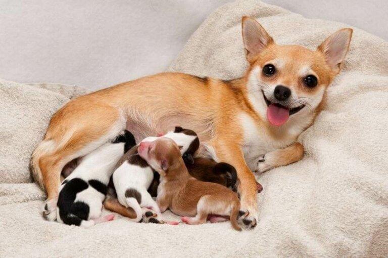 Собака и новорожденные щенки