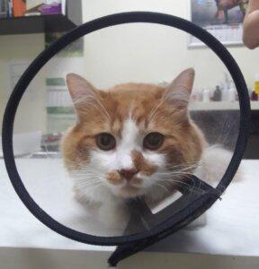Кот в воротнике после кастрации
