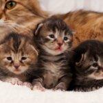 Изоэритролиз новорожденных котят и щенков