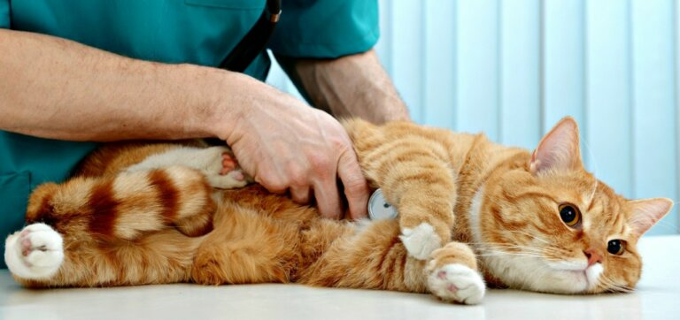 Кот на приеме кардиолога