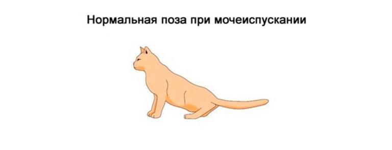 Нормальное мочеиспускание у кота