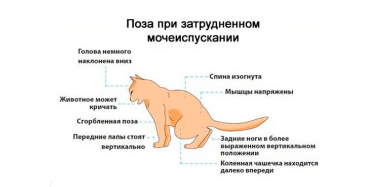 Затрудненное мочеиспускание у кота