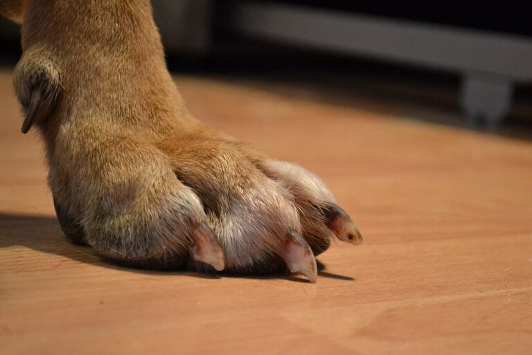 Прибылой палец у собак
