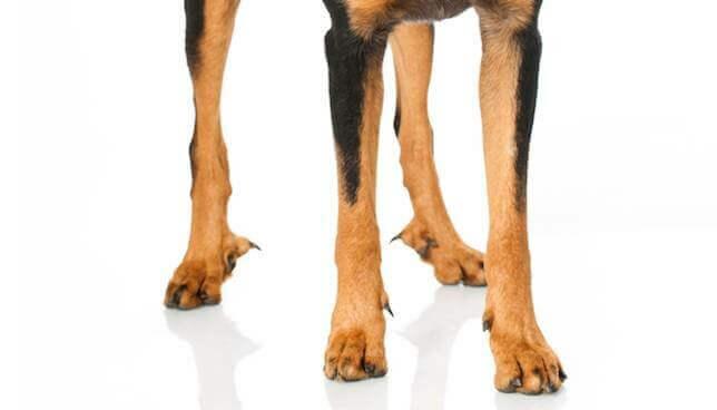 Прибылые пальцы у собаки